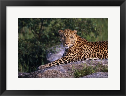 Framed Leopard Stretched out on Rock Print
