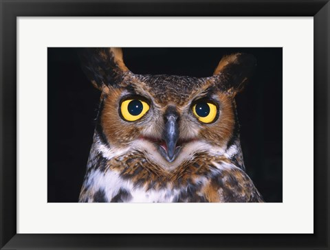 Framed Close Up of Yellow Eyed Owl Print