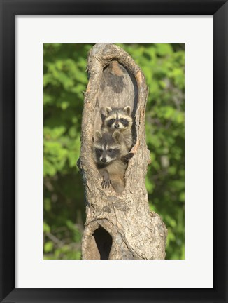 Framed Two Raccoons in Hollow Tree Print