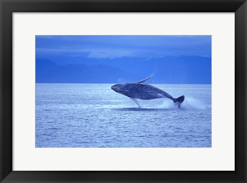 Framed Whale Jumping out of Ocean Print