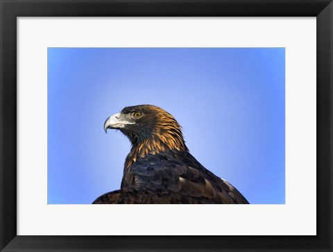 Framed Bald Eagle Headshot Print