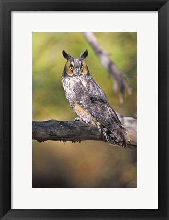 Framed Yellow Eyed Owl in Forest Print