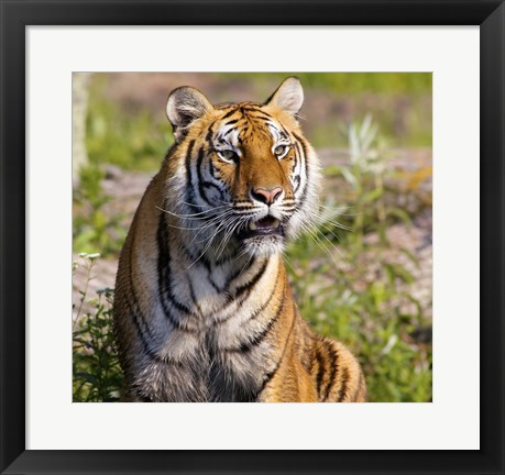 Framed Orange and Black Tiger in Wilderness Print