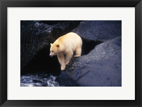 Framed Brown Bear Preparing to Jump into River Print