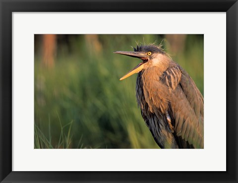 Framed Bird with Wide Open Mouth Print
