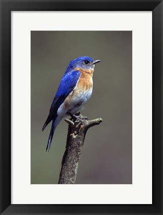 Framed Beautiful Bluebird Print