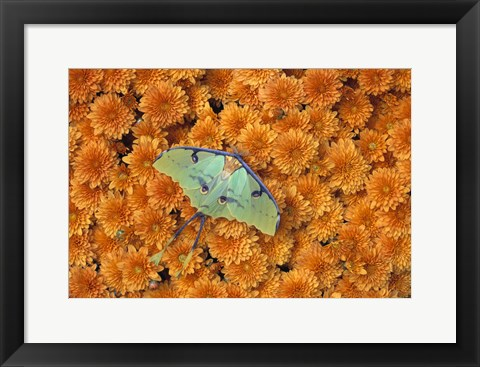 Framed Green and Blue Butterfly Against Flowers Print