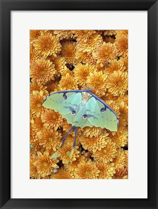 Framed Gorgeous Butterfly on Orange Flowers Print