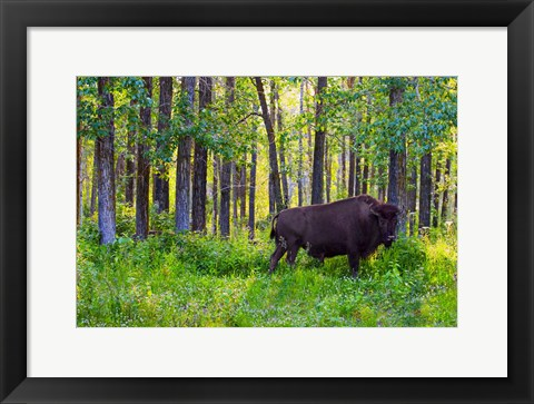 Framed Buffalo in Forest Print
