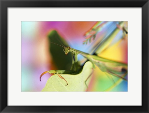 Framed Preying Mantis and Colorful Background Print
