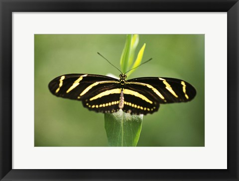 Framed Yellow and Black Striped Butterfly Print