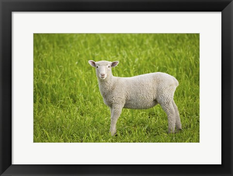 Framed Baby Lamb in Grassfield Print