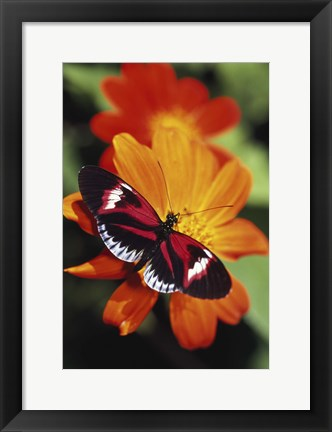 Framed Red and Black Butterfly Print