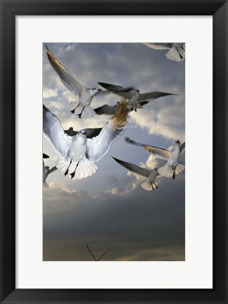 Framed White Doves Flying in Sky Print