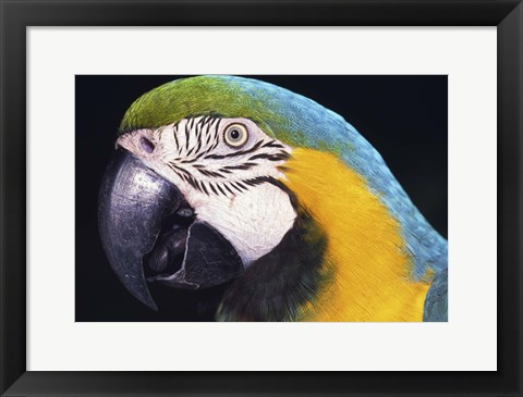 Framed Close Up of Macaw Print