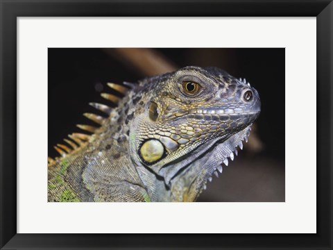 Framed Green Iguana Print