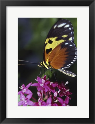 Framed Orange, Yellow, and Black Butterfly Print
