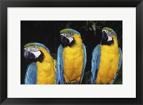 Framed Three Yellow and Gold Macaws Print