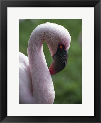 Framed Close Up of Flamingo Print