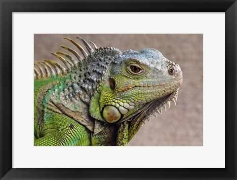 Framed Close Up of Green Iguana Print