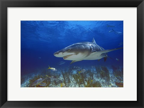Framed Shark Swimming Under Water Print