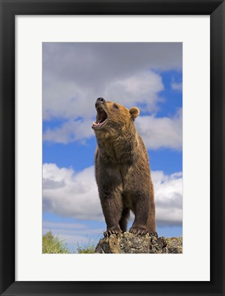 Framed Brown Bear Roaring on Rock Print