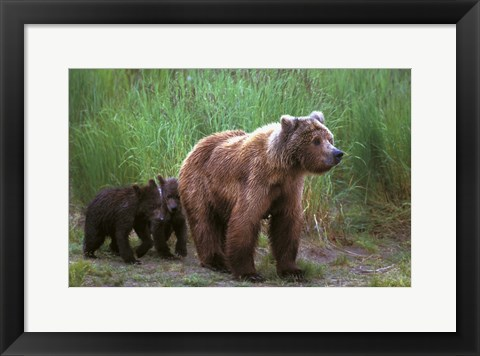 Framed Brown Bear and Cubs Print