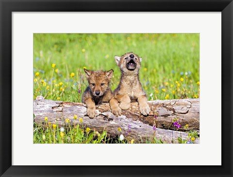 Framed Two Fluffy Brown Puppies Print