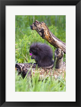 Framed Brown Porcupine Print