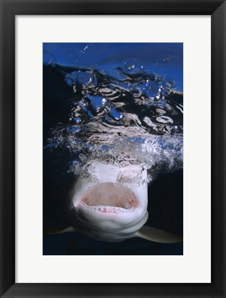 Framed Great White Shark Showing Teeth Print