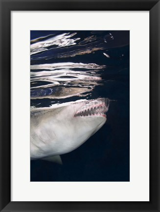 Framed Great White Shark Preying in Water Print