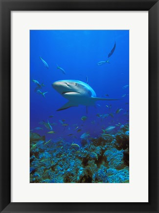 Framed Shark Surrounded by Fish Print