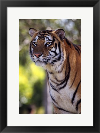 Framed Gorgeous Tiger Close Up Print