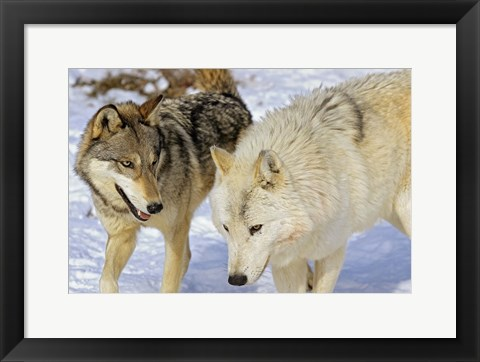 Framed Close Up of Two Wolves in the Snow Print