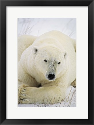 Framed Great White Polar Bear Print