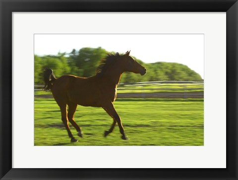 Framed Horse Galloping in Grass Print