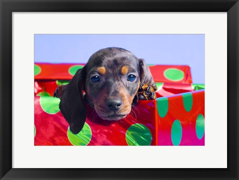 Framed Blue Eyed Puppy in Christmas Box Print