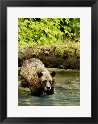 Framed Brown Bear in Lake Print