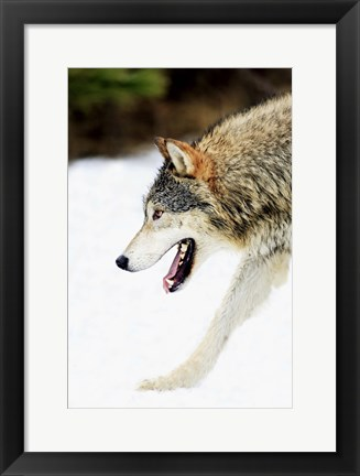 Framed Close up of Wolf in Snow Print