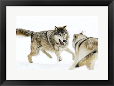 Framed Wolves Fighting in Snow Print