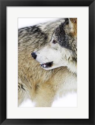 Framed Close Up of Brown and Black Wolf Print