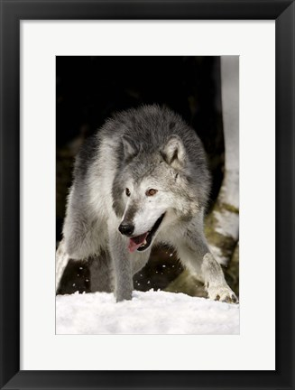 Framed Wolf Hunting in Winter Print