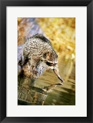 Framed Critter Stepping into Lake Print