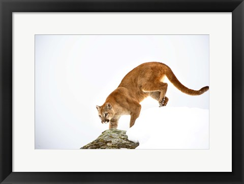Framed Bobcat Prowling on Snowy Mountain Print
