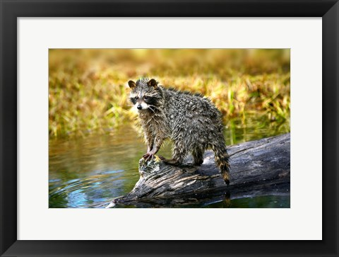 Framed Soaking Wet Critter Coming out of Lake Print