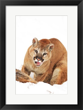 Framed Yellow Bobcat with Open Mouth Print