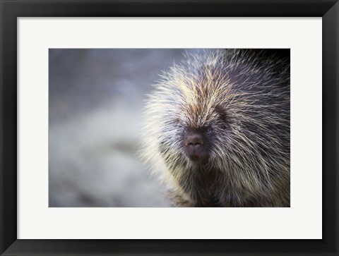 Framed Close Up of Porcupine Print