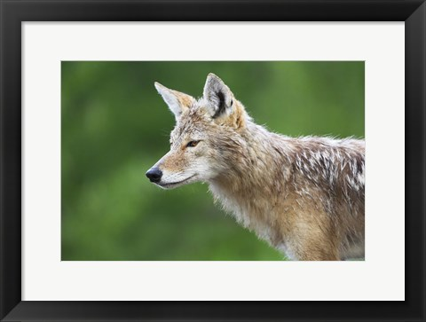 Framed Brown Eyed Wet Fox Print
