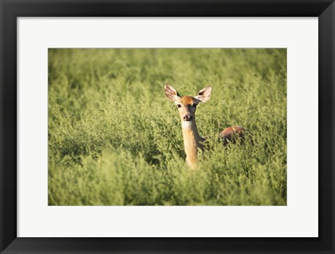 Framed Deer Poking its Head up from Meadow Print