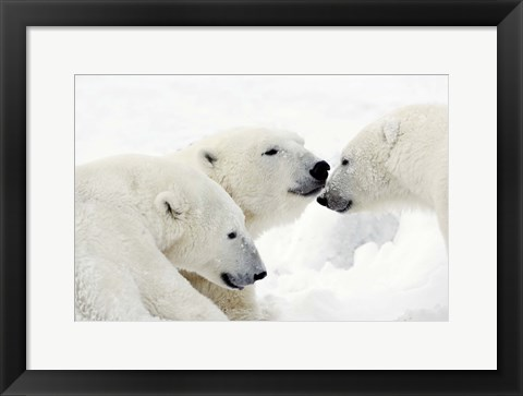 Framed Three Polar Bears Nuzzling Noses Print